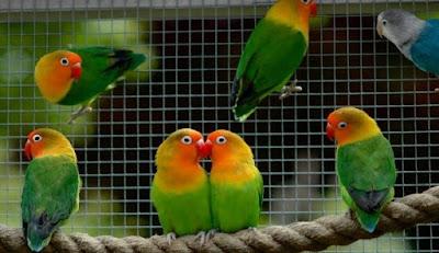 6 Cara Dan Tips Mengatasi Mencret Pada Burung Love Bird Dan Obatnya