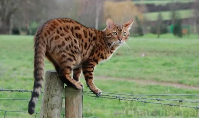 Les chats Bengal peuvent-ils sortir