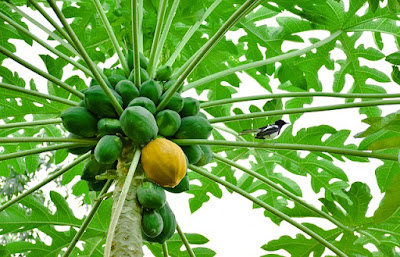 nutrition-of-papaya-benefits-and-disadvantages-in-bangla