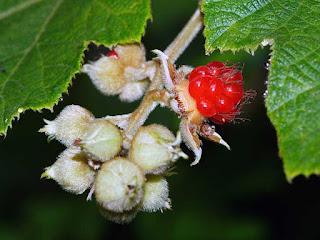 broadleaf bramble fruit images