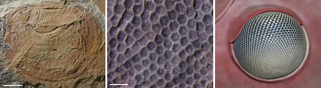 Incredible vision in ancient marine creatures drove an evolutionary arms race