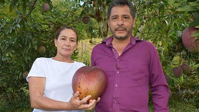 Petani Kolombia memenangkan gelar Rekor Dunia Guinness dengan menanam mangga terberat di dunia