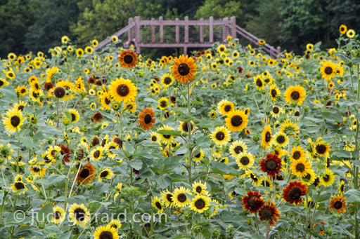 Sunflowers and viewing platform