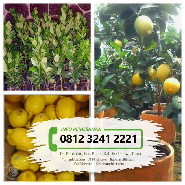Jual Bibit Buah Jeruk Lemon Tin / Tea