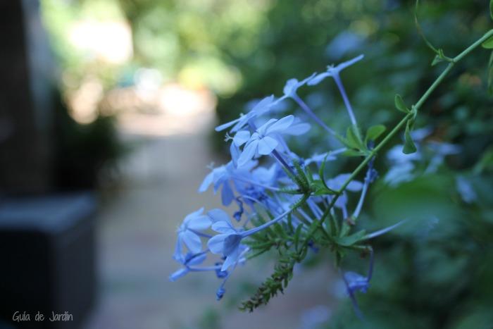Flor de plumbago