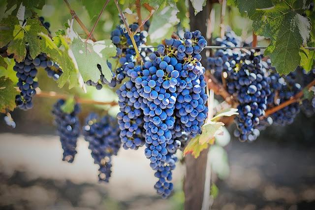 uvas-vino-on
