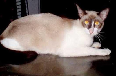 Jenis Ras Kucing Malaysia