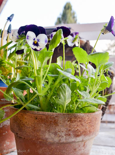 orvokki kevään kukkija