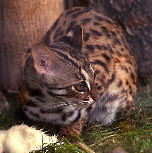 Kucing Leopard Menunduk