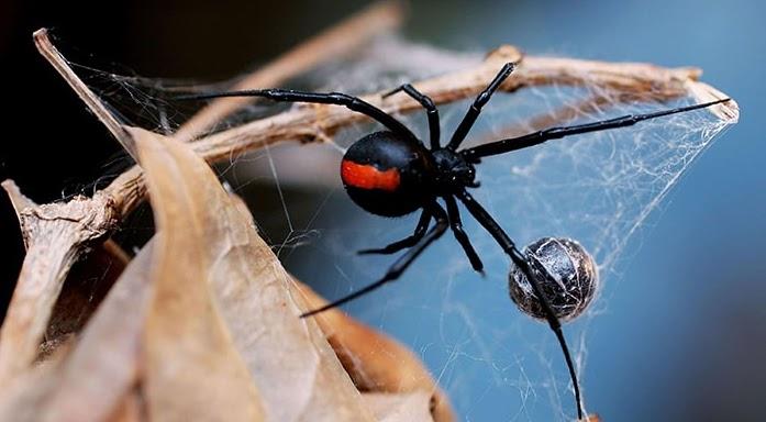 Por qué la araña viuda negra mata al macho después del acto sexual y se lo  come?