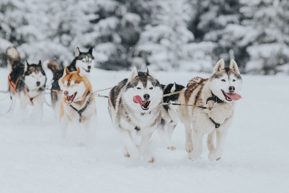 Huskies pulling a dog sled