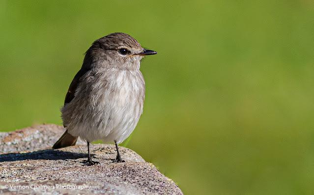 Dusky Flycatcher Bird on Rock Kirstenbosch Photographer Vernon Chalmers