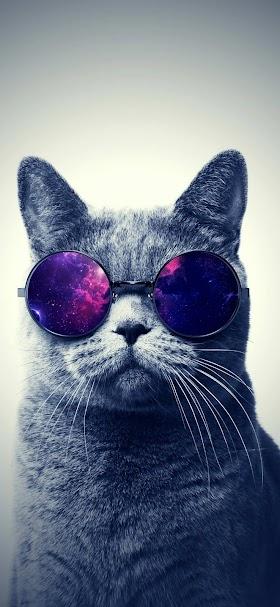 خلفية قطة رمادية تضع نظارات سوداء