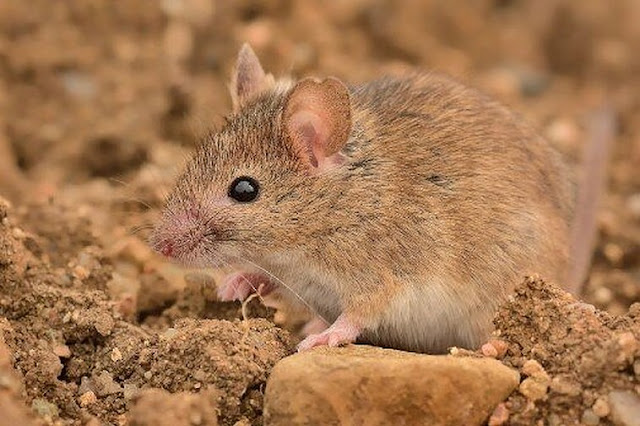 New study reveals Europe's earliest house mouse followed swiftly by the house cat