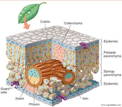 Pengertian, Macam-Macam, dan Beserta Fungsi Jaringan Pada Tumbuhan
