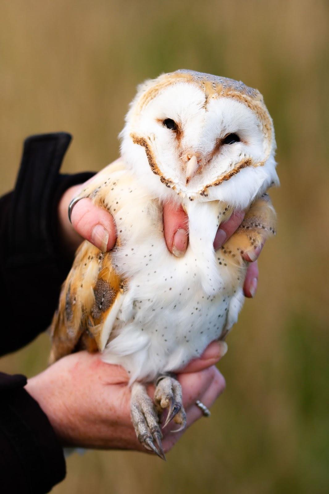 Adult Female Barn Owl