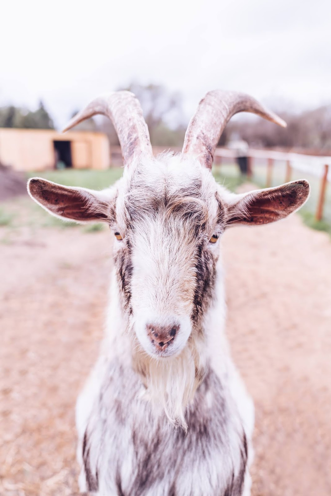 Free photograph of a white billy goat on a farm. Rustic farmhouse decor photography.