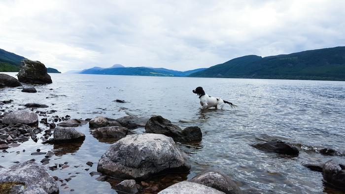 A springer spaniel paddling in Loch Ness