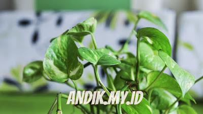 sirih, daun sirih, daun sirih hijau, daun sirih merah, daun, gambar daun, pohon, hijau, tanaman