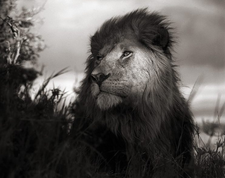 Nick Brandt - Photography - lion