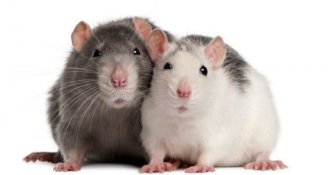 How do rats use empathy to prepare for danger?