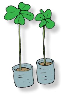 bibit pohon angsana www.simplenews.me
