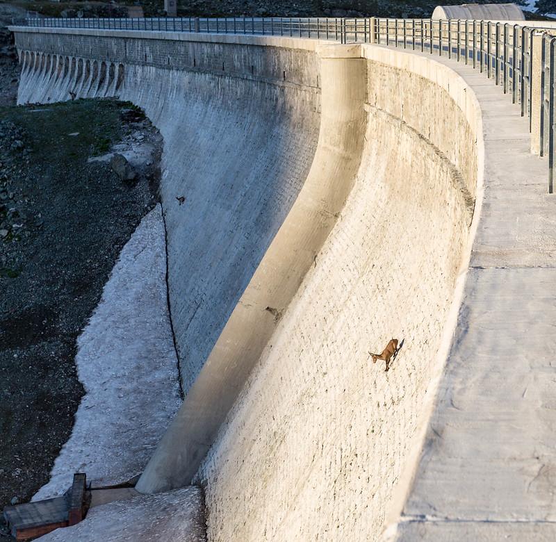 mountain goats climbing;  goats climbing; goat climbing wall; ibex goats; ibex climbing dam; how do mountain goats climb vertically; mountain goat climbing; goats climbing dam; goats licking salt; goat licking meme; mountain goat hoof; ibex hooves; ibex wall; why do goats climb; animals who climb mountains, licking rocks, how do goats climb; salt goat; goat salt; ibex climbing; ibex goat;