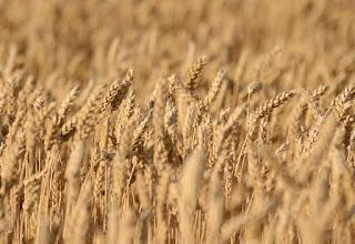 ¿Cómo reconocer los campos de cereales? (Desde lejos): Trigo