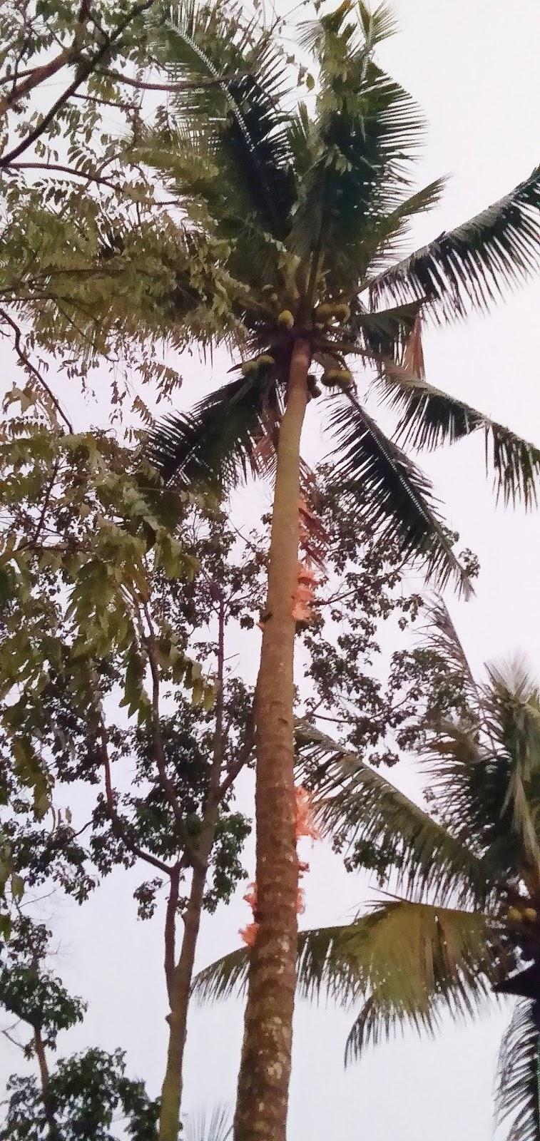 Petir menyambar, pohon kelapa  tercabik di Nagrog. 5 meter dari warung