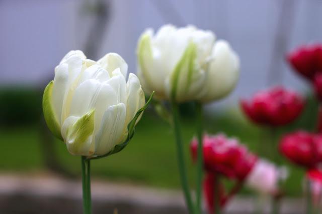 цветение белых тюльпанов
