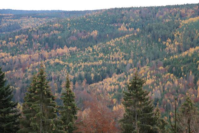 Lärchen im Wald