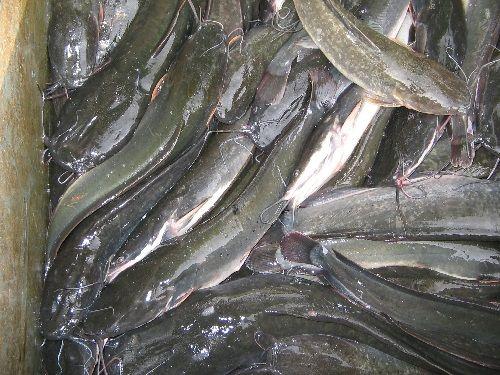 Lokasi Budidaya Ikan Keli
