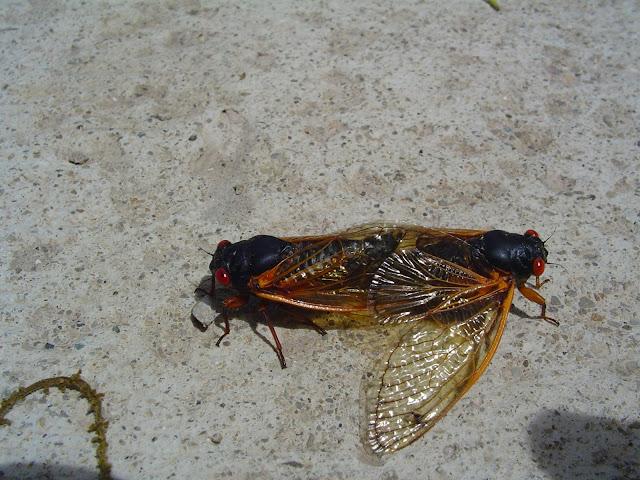 17 year cicada mating photo