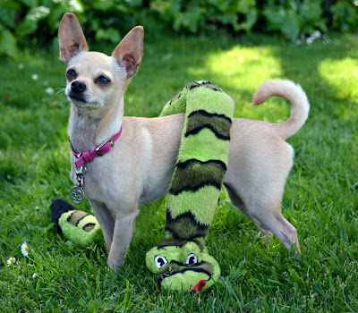 chihuahua wearing large stuffed squeaky toy