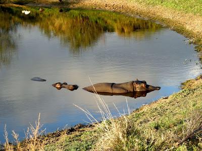 Botswana, watering hole, hippo