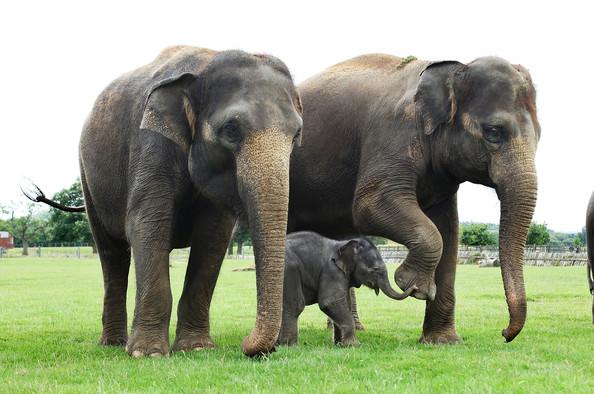 Fantastica Animal: Charactheristics of Asian Elephant
