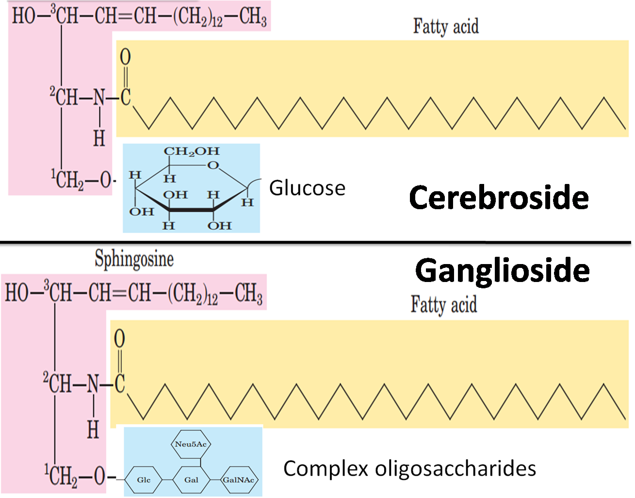 Difference between Cerebroside and Ganglioside