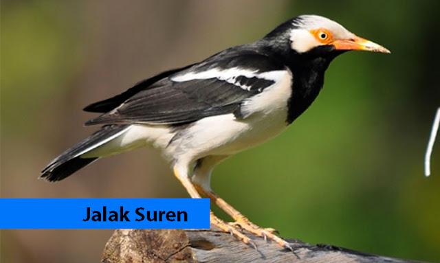 Jalak Suren Burung Jinak Penjaga Rumah