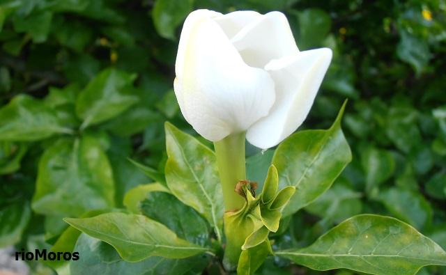 GARDENIA DEL CABO Gardenia jasminoides 'Kleim's Hardy'