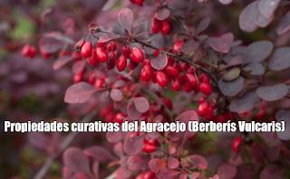Propiedades curativas del Agracejo (Berberís Vulcaris)