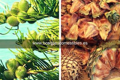 Son Semillas Comestibles utilizadas por los Indios Araucanos, Chile