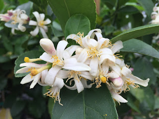 Citrus bloom Vivero Growers Nursery Austin