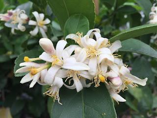Citrus bloom Vivero Growers Nursery Austin