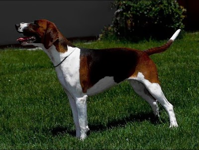 foxhound terrier english foxhound the breed terrier university 5291