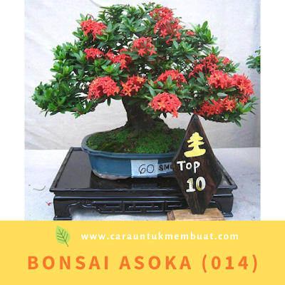 Bonsai Asoka (014)