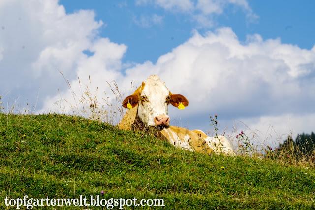 Kuh | Almweide | Hochkönig im Tennengau - Blog Topfgartenwelt
