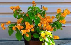 How to Grow Bougainvillea From Cuttings- Picture of Propagated Bougainvillea by cutting