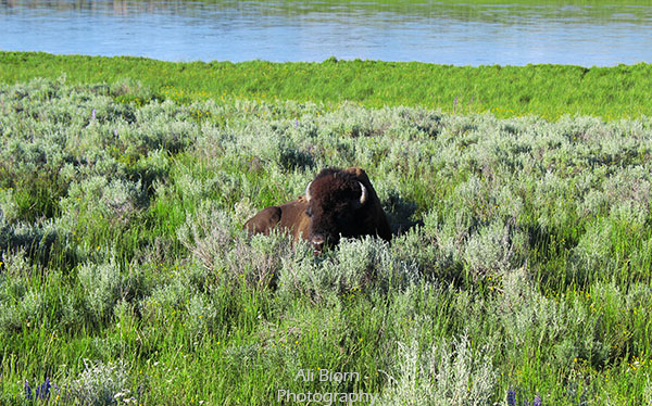 Buffalo by river in Yellowstone National Park