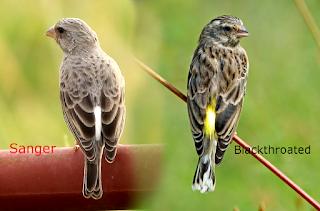 Suara Burung Sanger mp3