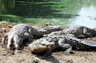 Capturan cocodrilo de 2.65 mts de largo en Mena,Tamayo